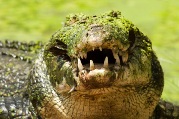 Crocodile - Kakadu National Park