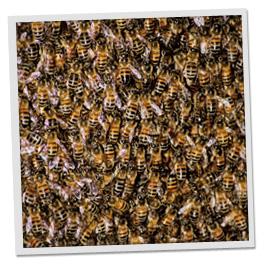 Killer Bees Attack Arizona
