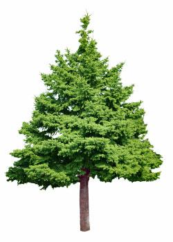 Recycling Christmas trees: A gift to