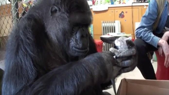 Gorilla adopts kittens because gorilla babies