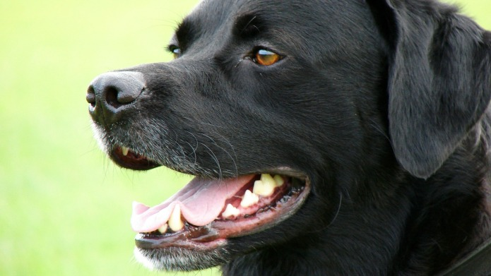 Labrador retrievers: What you should know