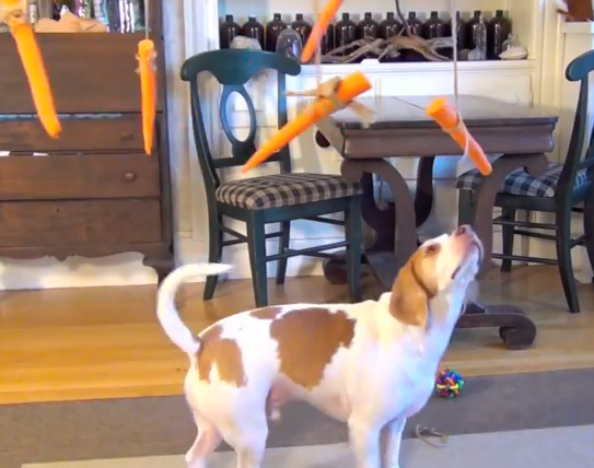 Ambitious beagle attempts to eat carrots