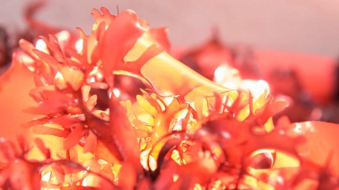 New seaweed that tastes like bacon