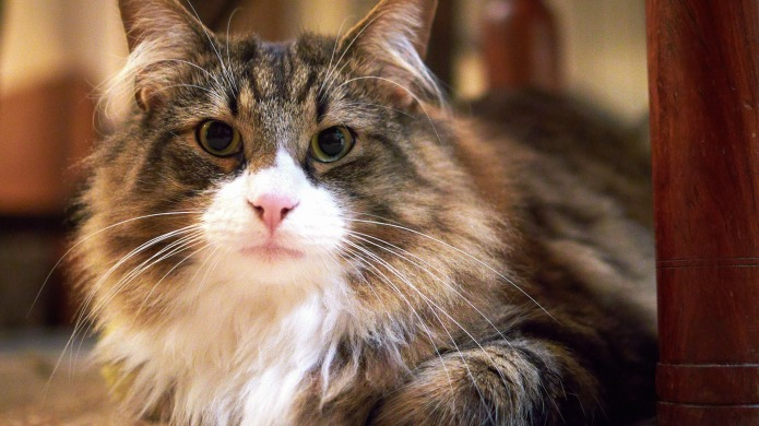 7 Cat diseases every owner should