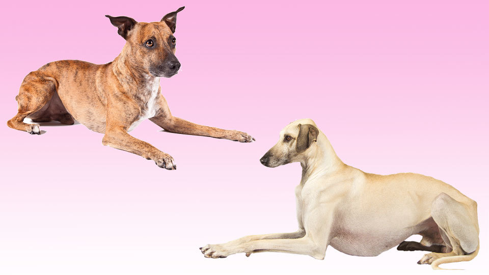 American Kennel Club Welcomes Two New Dog Breeds - Dogalize