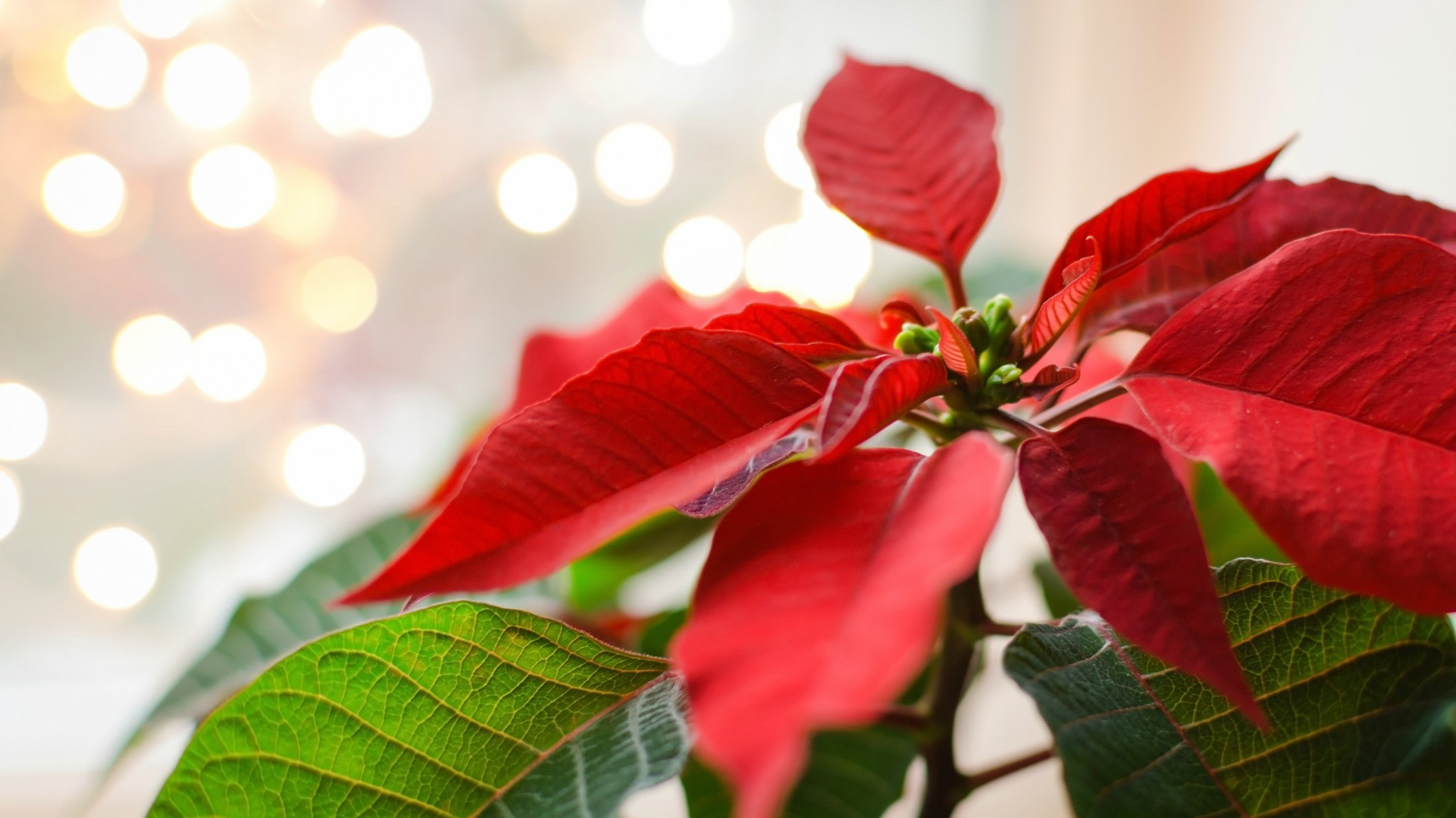 How To Keep Your Poinsettia Plant Image Nut Natti Getty Images