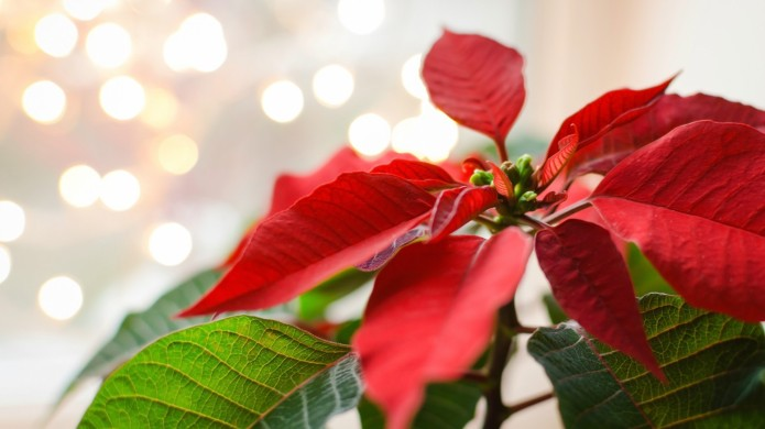 How to Keep Your Poinsettia Plant