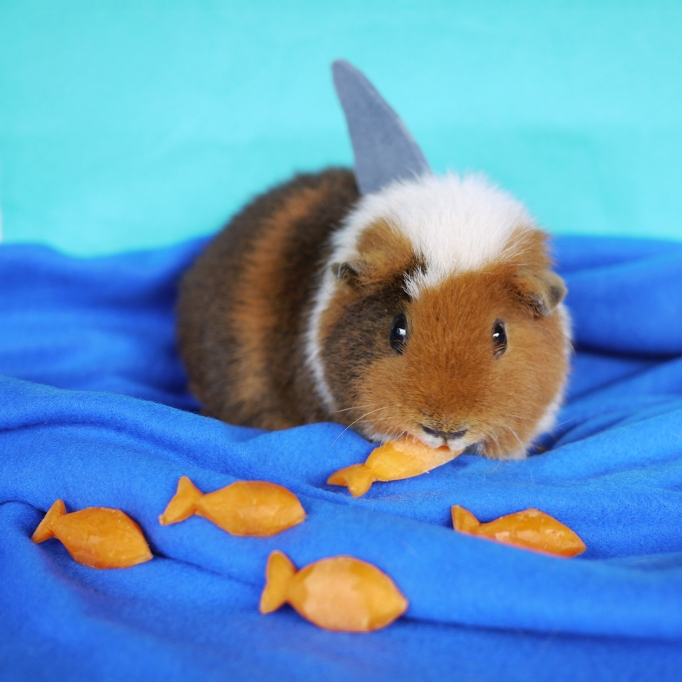 Dressed up Guinea Pig