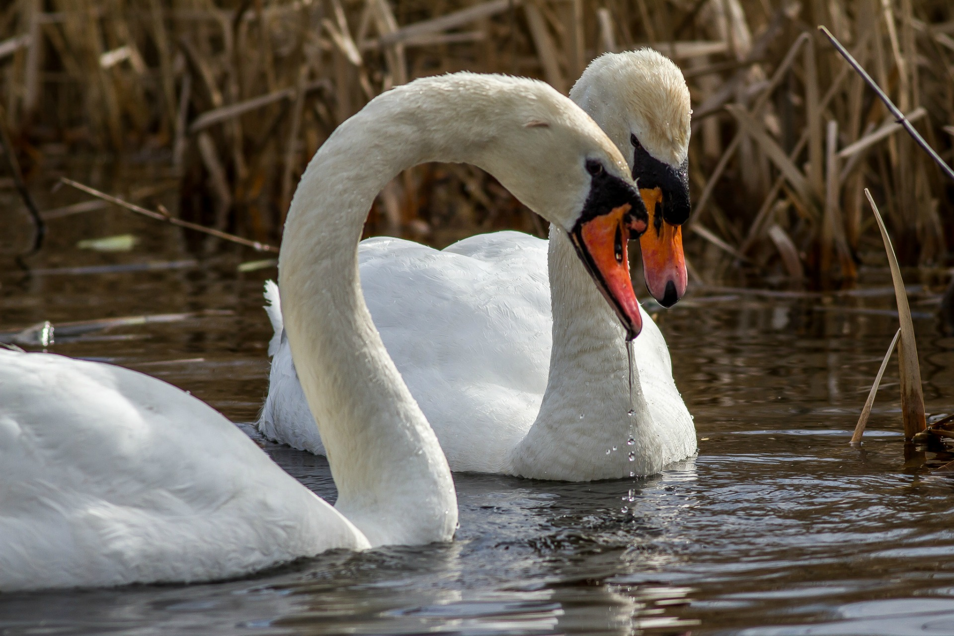 Should the mute swan be the UK's national bird?
