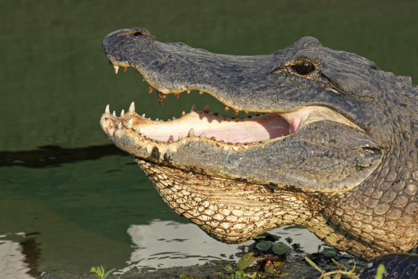 Places in Florida to View Wild Alligators: Myakka River State Park