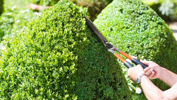 How to prune evergreen shrubs
