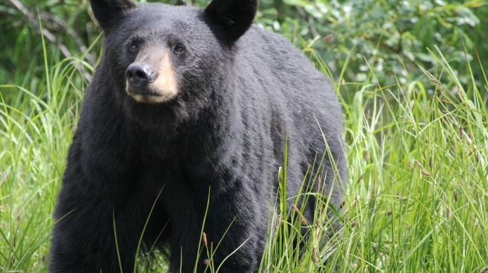 Black bears are roaming residential areas