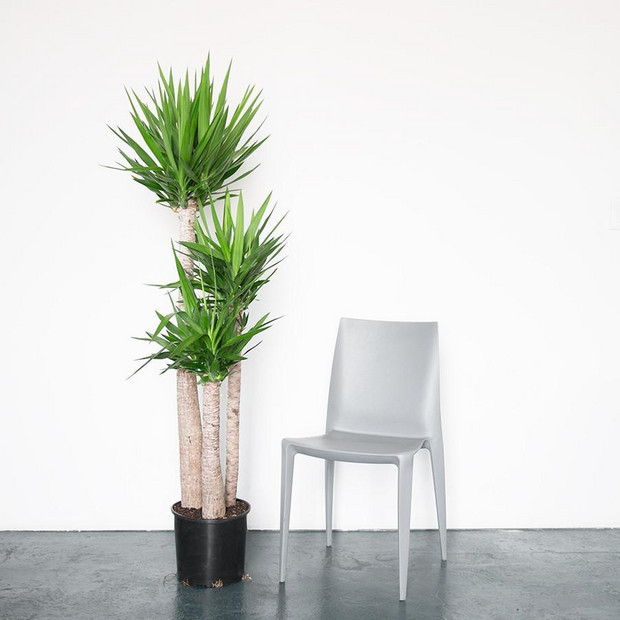 Big, Leafy House Plants: Yucca Plant with a silver chair