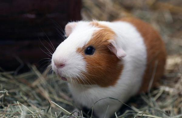 Diarrhea in guinea pigs