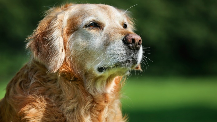 Dealing with dog dementia: what it