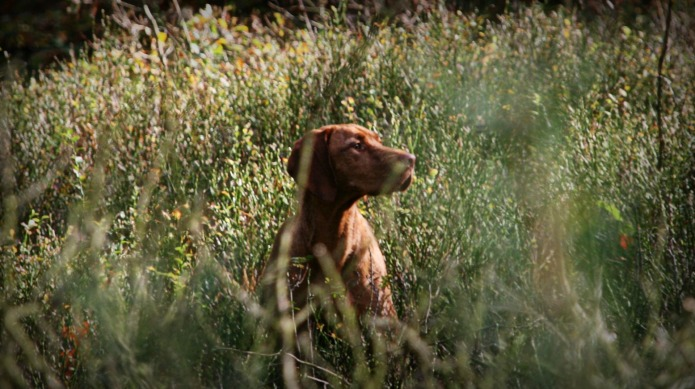 Meet the breed: wirehaired vizsla