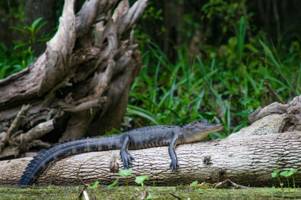 Places in Florida to View Wild Alligators: Ocala National Forest