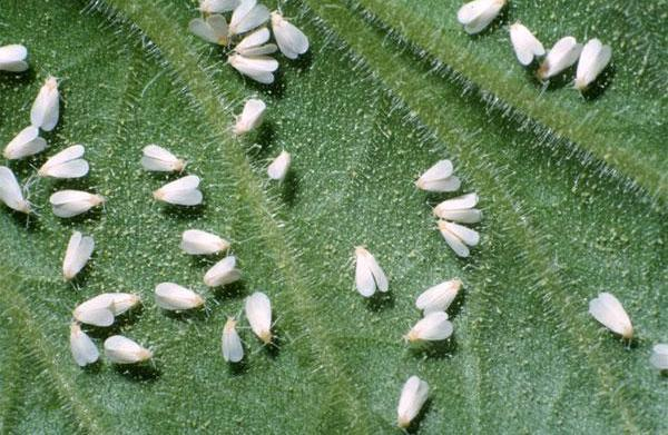 Whitefly Control