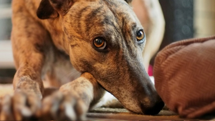 Rescued greyhounds have unique needs —