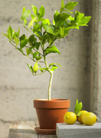 Organic Meyer Lemon Topiary - $95