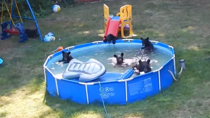 Adorable video of bear cubs swimming