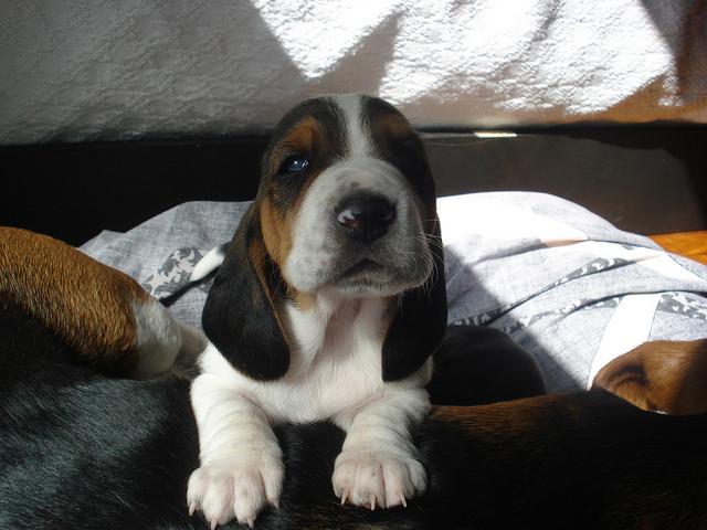 Tired basset hound puppy