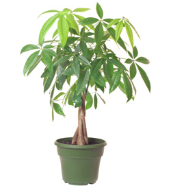 Unless You Re Highly Skilled At Keeping Plants Alive Skip The Bonsai Version Of Money Tree However And Go For Larger