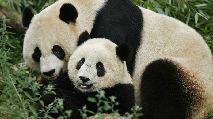 Panda Mei Xiang may be pregnant,