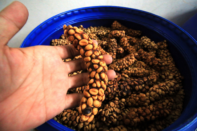 worker holding civet coffee