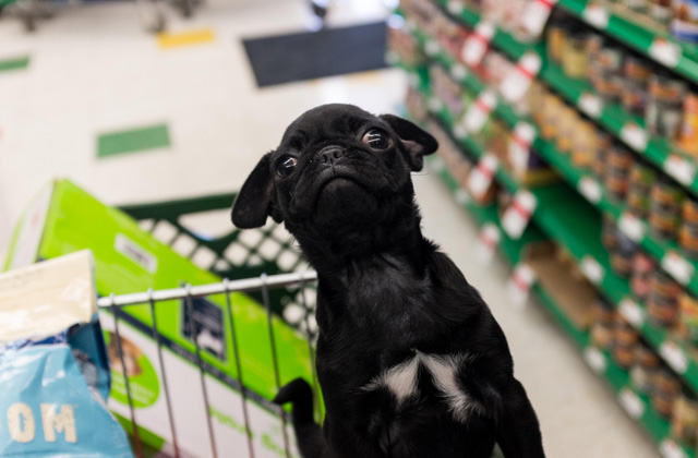 pug in pet supplies plus