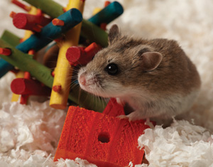 Hamster playing with toys