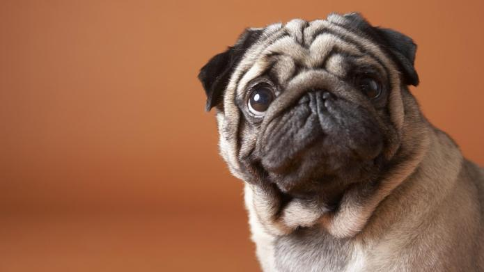 8 Must-follow Instagram accounts for Pug