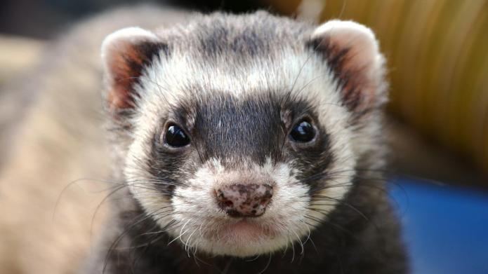 Pet ferret eats baby's face in