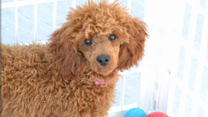 13 Things only poodle owners know