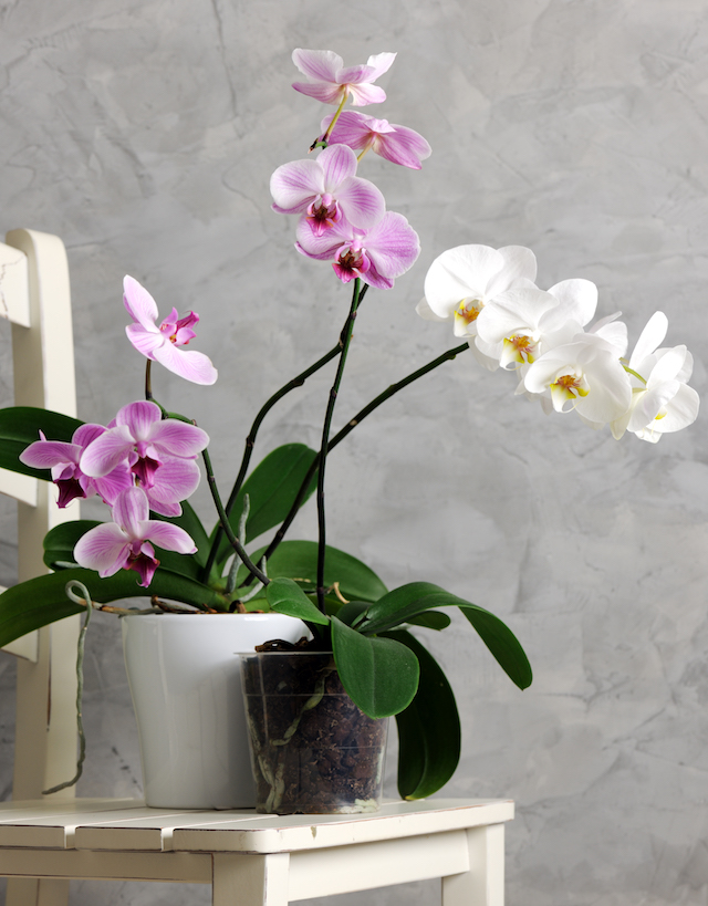 pots with orchids on grey background
