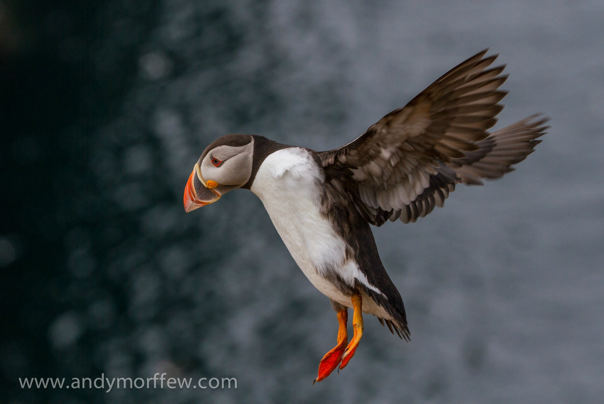 Should the puffin be the UK's national bird?
