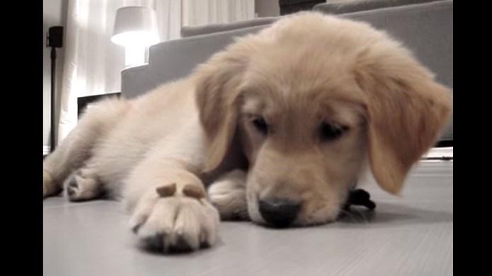 Golden retriever puppy's snack willpower is