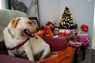 Dog looking at Christmas gifts