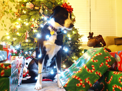 Dog covered in Christmas lights