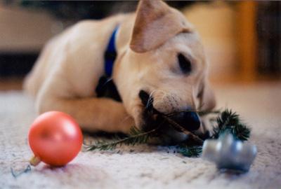 Dog eating Christmas tree