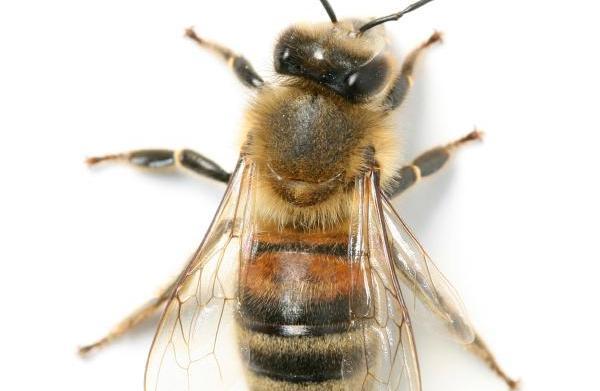 Bee venom: The key to healthy,