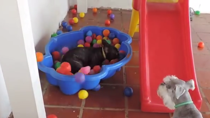 French bulldog has never been happier