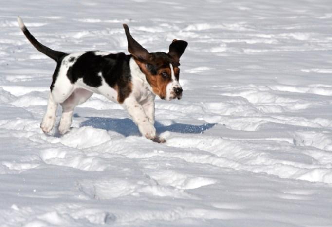 Basset hound puppy on the snow