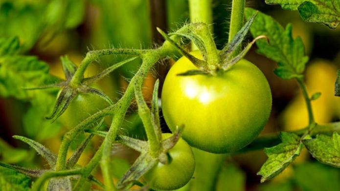 Disease-Resistant Hybrid Tomatoes