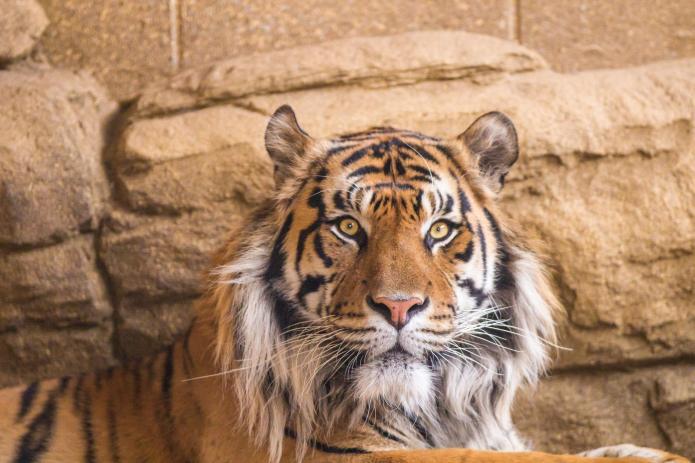 Loose tiger near Disneyland Paris is