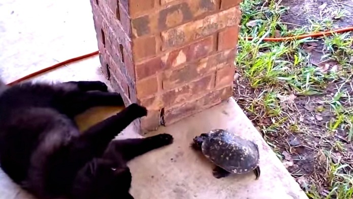Turtle and cat play an adorable
