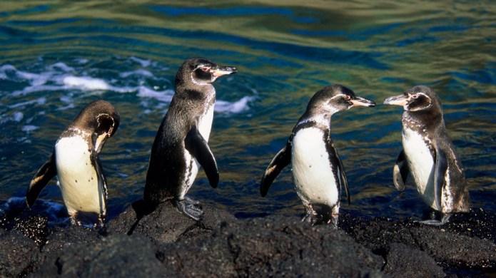 Galápagos Penguins Drive Their Parents Crazy