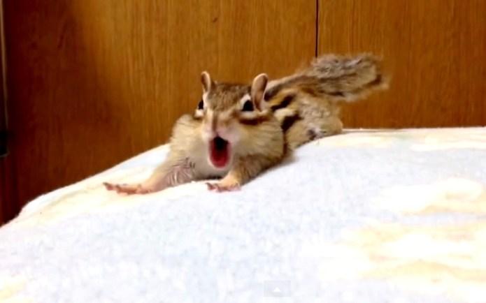 Sleepy chipmunk hates getting up in
