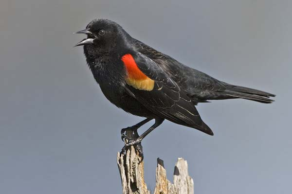 Red-winged blackbirds died from trauma