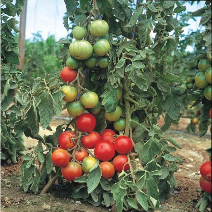 1.5-Gallon Tomato Assortment Plant